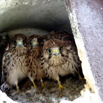 Falken klein