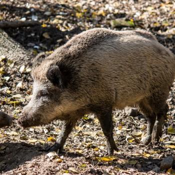 Wildschwein gross