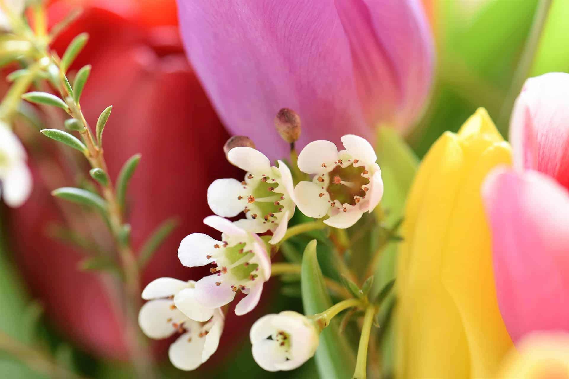 tulips-2091407_1920